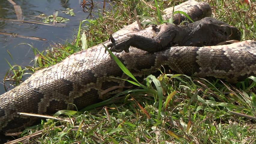 Dead Python and Alligator