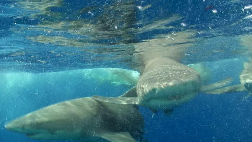Dramatic surface footage of lemon sharks (Negaprion brevirostris) filmed at Tiger Beach, the Bahamas.