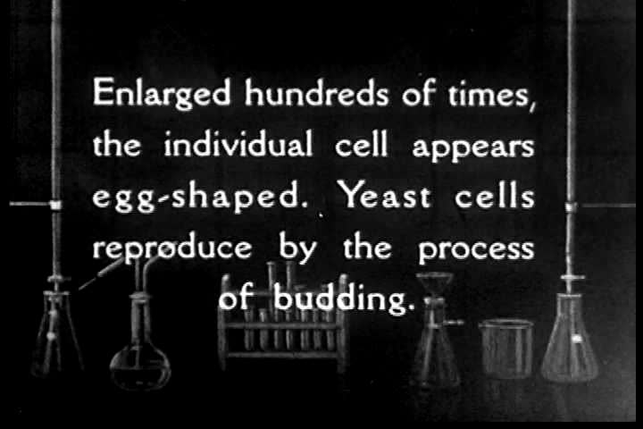 CIRCA 1930s - Yeast cells reproduce under a microscope during the fermentation process.