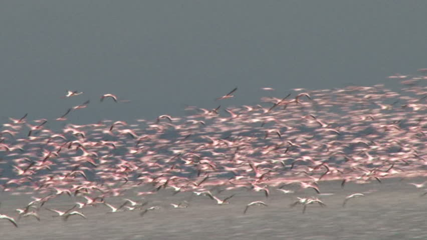 Tremendous flock of flamingos in flight. - HD stock video clip