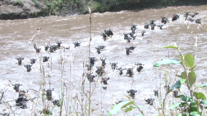 Wildebeests caught in a strong current while crossing a river - HD stock footage clip