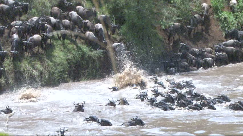 Wildebeests jumping into the river. - HD stock video clip