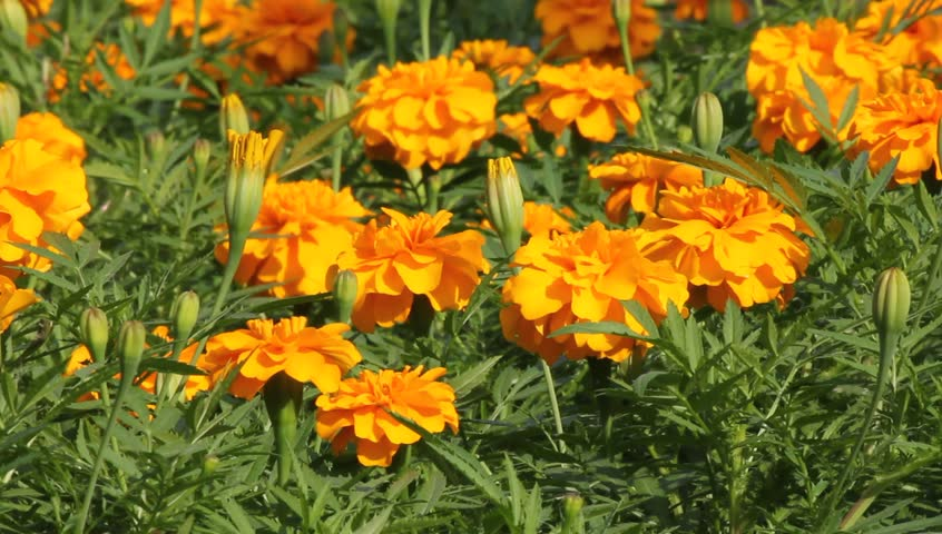 Yellow marigold - HD stock footage clip