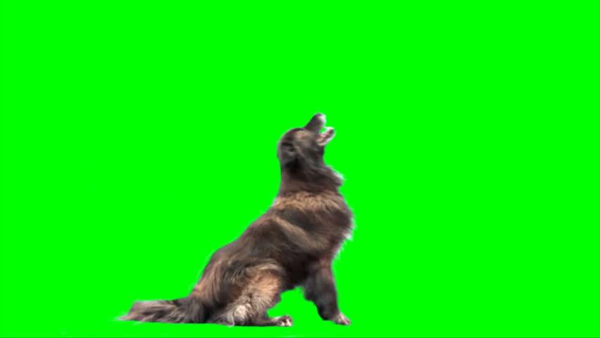 Big sheep dog jumps on 2 legs on green screen - HD stock footage clip
