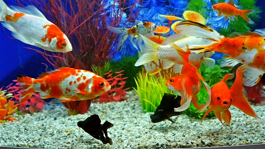 Slow motion of goldfish eating fish food and swimming in for Golden ornamental pond fish crossword