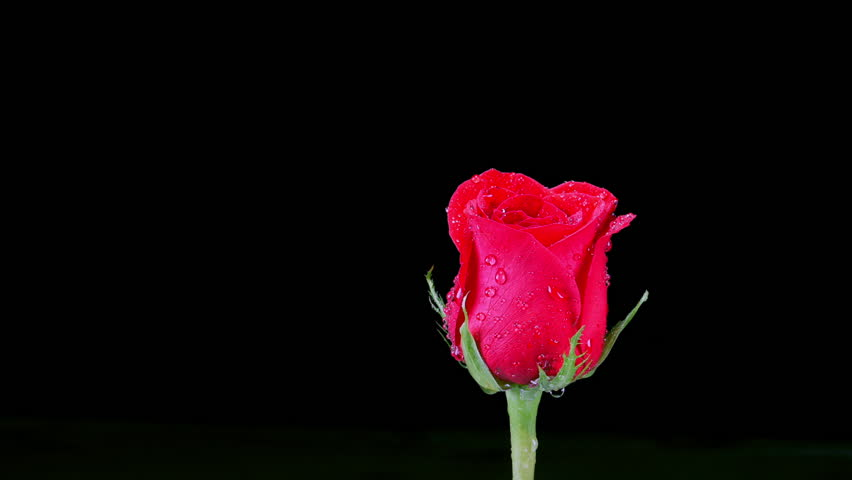 Single Red Rose Flower Stock Images: A Classic Single Red Rose Rotating Against A Black