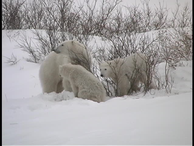 A mother polar bear and her two cubs search for fruit on bushes in the snow covered wilderness of Churchill, Alaska.