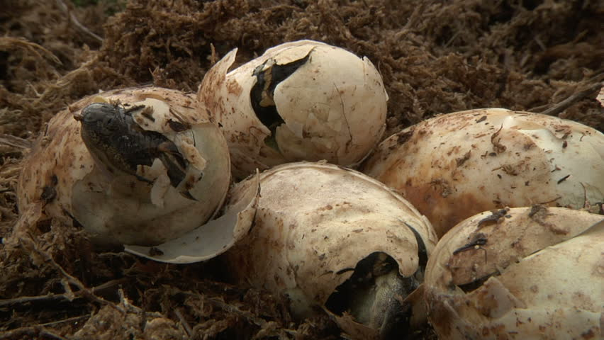 Alligator Eggs Hatching