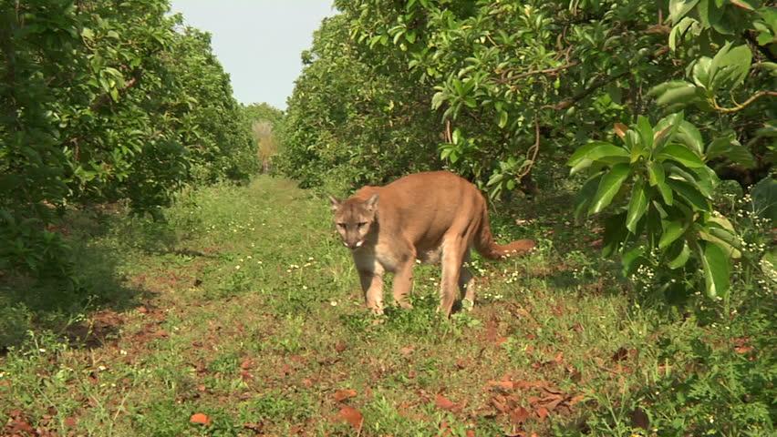 Florida panther walks towards camera - HD stock video clip