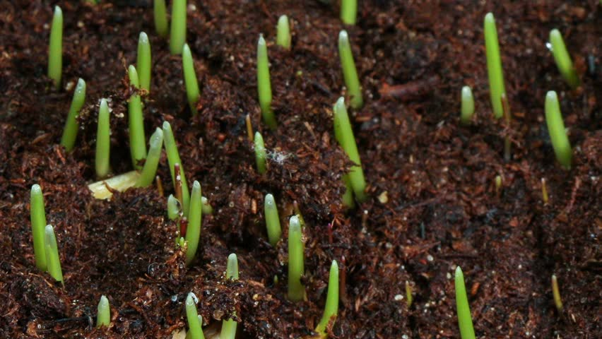 Growing green grass plant time lapse - HD stock video clip