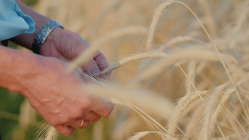 Close Up Of Farmer Checking Wheat Crop In Field - HD stock footage clip