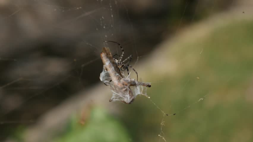 Argiope caught a grasshopper in its web and webbing it, injecting venom  - 4K stock video clip