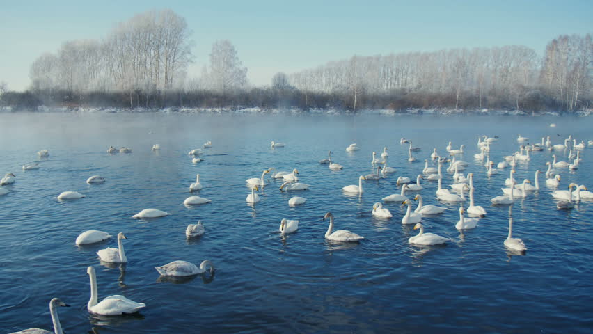 swan-familiy in winter on the lake - 4K stock footage clip