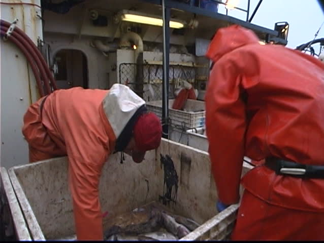 fishermen cut open fish and throw them in another bin. - SD stock video clip