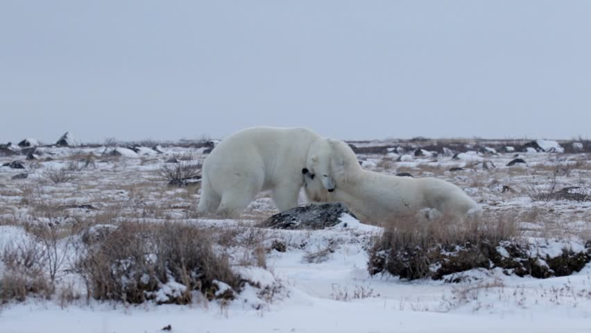 Polar bears sparring in the snow Beautiful Steady shot of 2 polar bears fighting playing and sparring in the snow