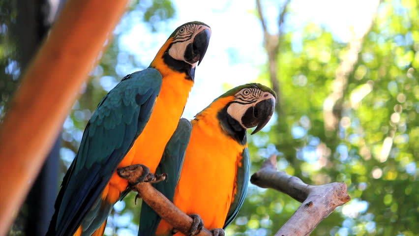 Couple. Blue Yellow Macaw. Arara. Ararauna. Brazil. Birds | Shutterstock HD Video #14828494