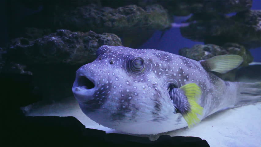Puffer fish stock footage video shutterstock for Puffer fish aquarium