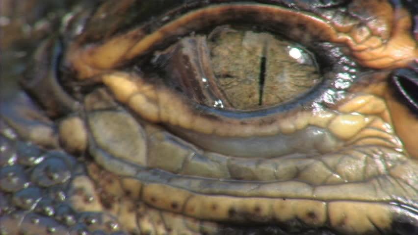 Header of Alligators