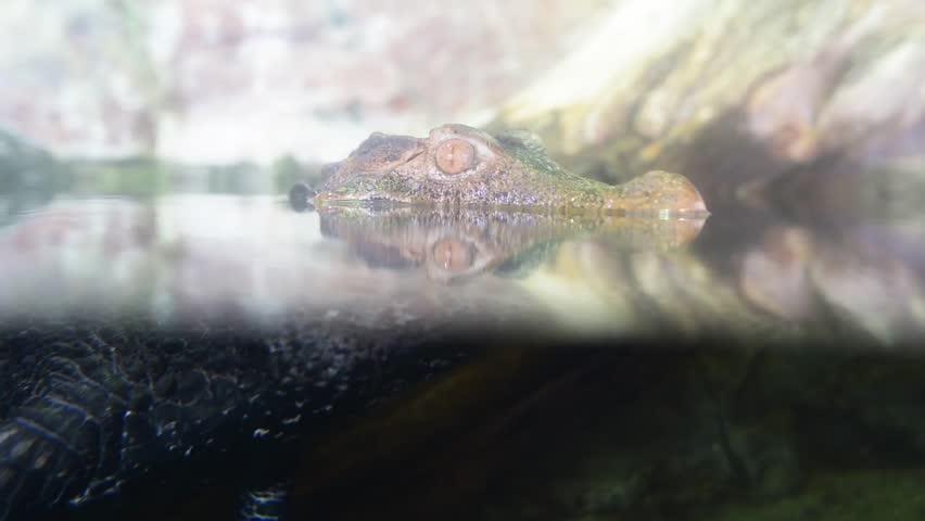 Header of African Crocodile