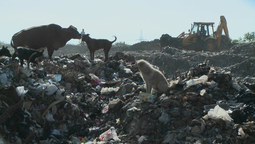 Dogs and a cow walk through a garbage dump as a crane works.