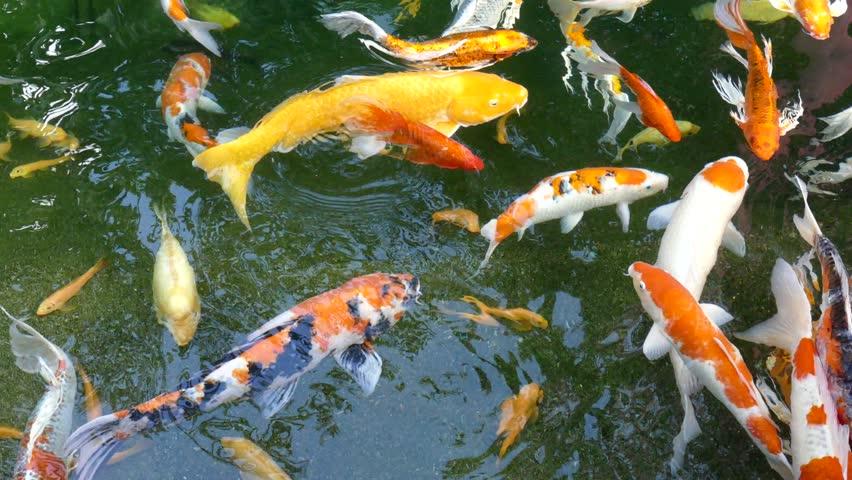 Various color japanese koi carp swimming in fresh flowing for Koi fish swimming