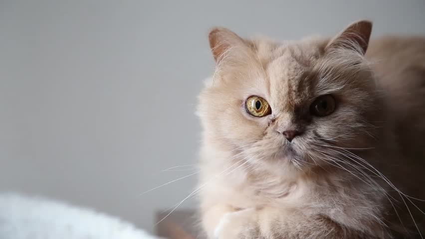 Persian cat playing toy with people - HD stock video clip