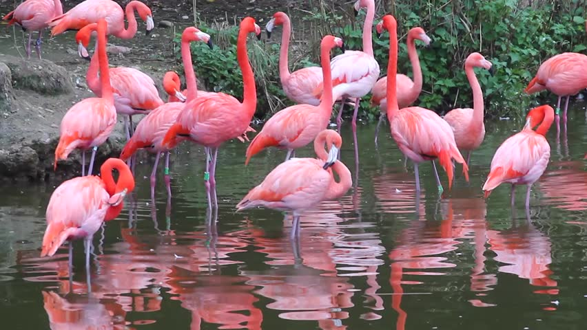 Group of Pink Flamingos with the Water Reflection at Zoo - HD stock video clip