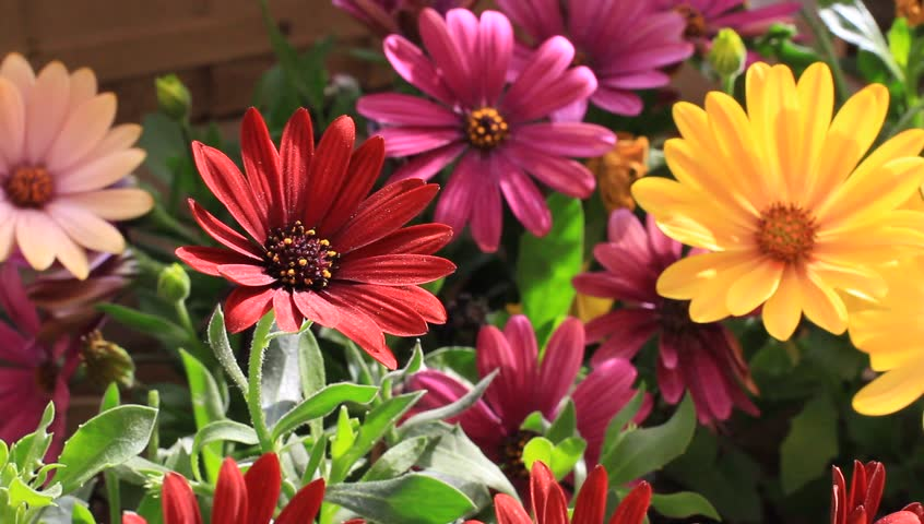 Colorful flowerbed. Solitary African Daisy flowers at the garden