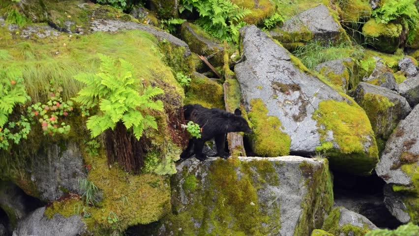 A small black bear on a rock ledge - HD stock video clip
