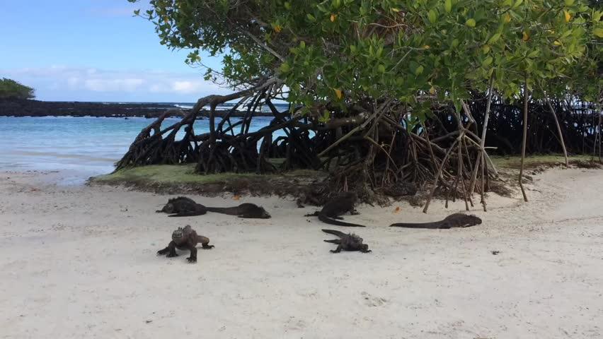 Marine iguana on the Galapagos Island  - HD stock footage clip