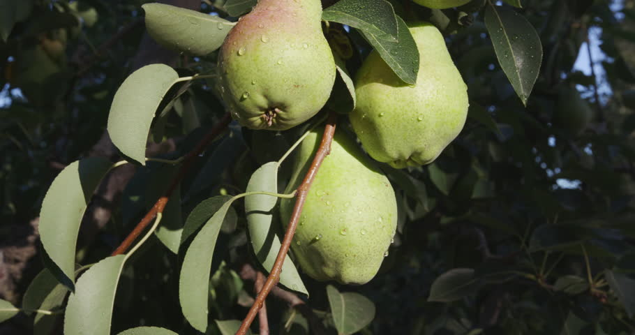 Bunch of pears growing on a fruit tree - South Africa, Jan. 2016 - 4K stock video clip
