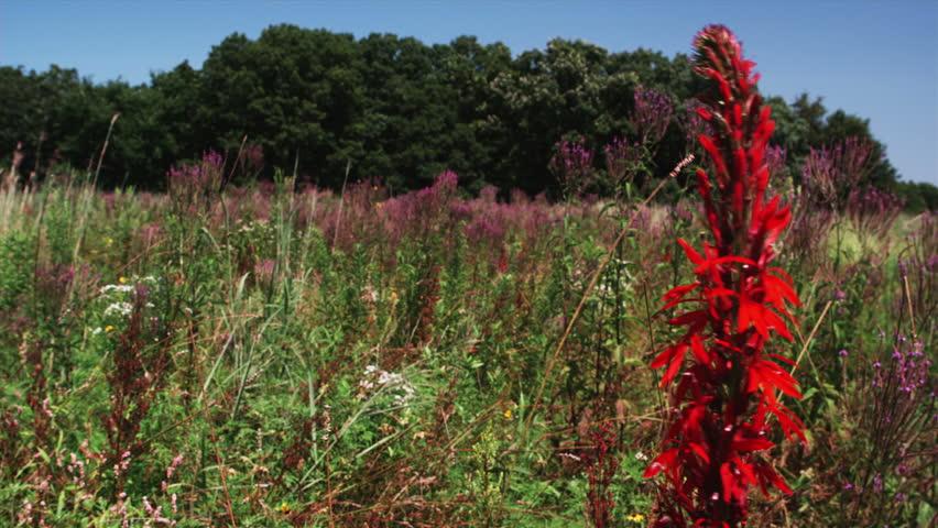 Praire Cardinal Flower  - HD stock video clip
