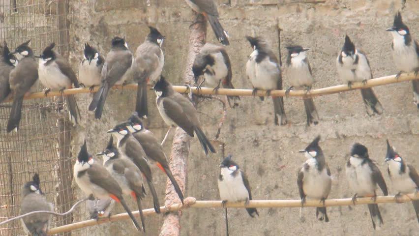 Red-whiskered bulbul - HD stock video clip