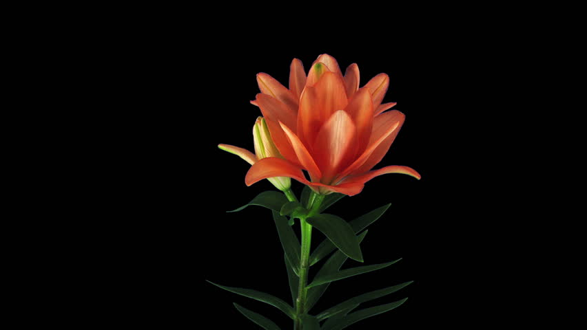 Time-lapse of growing, opening and rotating orange lily 1b3 in RGB + ALPHA matte format isolated on black background