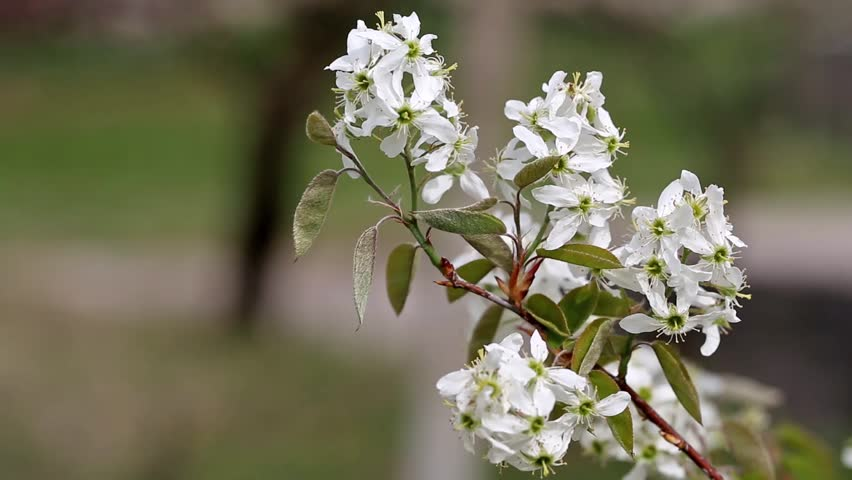 Header of Amelanchier canadensis