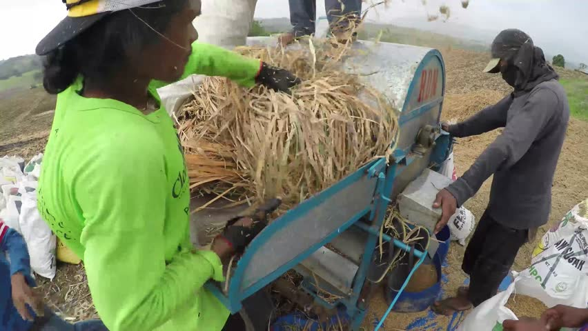 POTIA, IFUGAO, PHILIPPINES - APRIL 3, 2016: small scale rural farmers motorized machine threshing palay rice in the field, a practice that changed the manual threshing