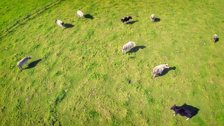 Aerial view of summer countryside with grazing cows. Full HD, 1080p - HD stock footage clip