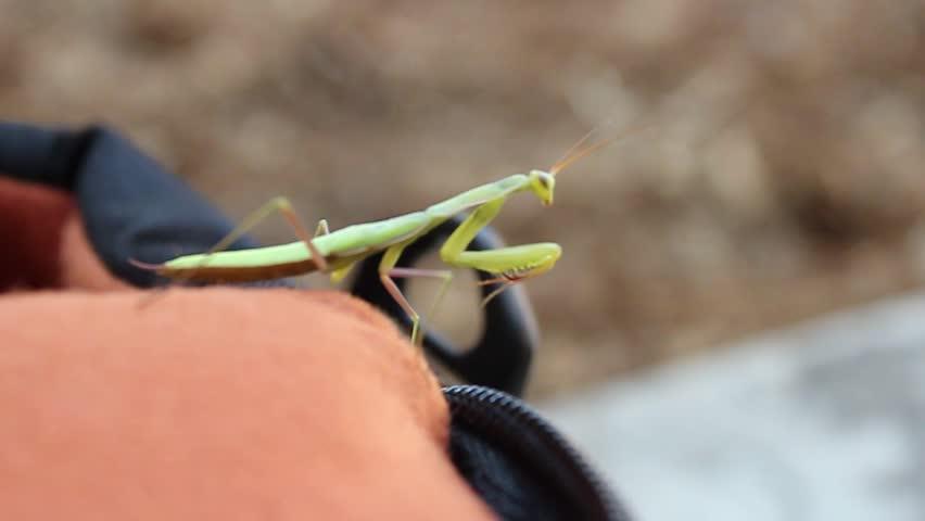 Praying mantis walks over bag and onto human hand - HD stock footage clip