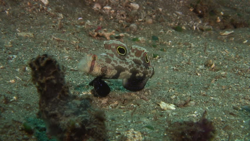 Signal Goby - HD stock video clip