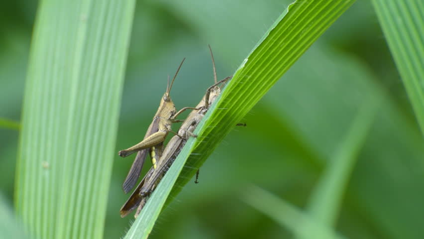 Cricket bugs mating in jungle, green leaves nature background, Kolkata ...