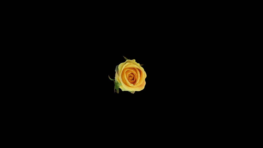 Seamless rotating time-lapse of opening and closing yellow Prairie rose 3r3 in RGB + ALPHA matte format isolated on black background, top view