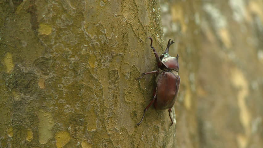 Close up of beetle on a tree trunk, Japanese rhinoceros beetle. Taitung City, Taidong, located in the eastern coast of Taiwan. - HD stock footage clip