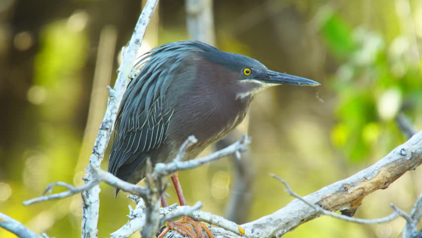 Green heron (Butorides virescens) is a small heron of North and Central America. This one is hunting in a mangrove swamp along a coastal saltwater marsh in Florida. - 4K stock footage clip