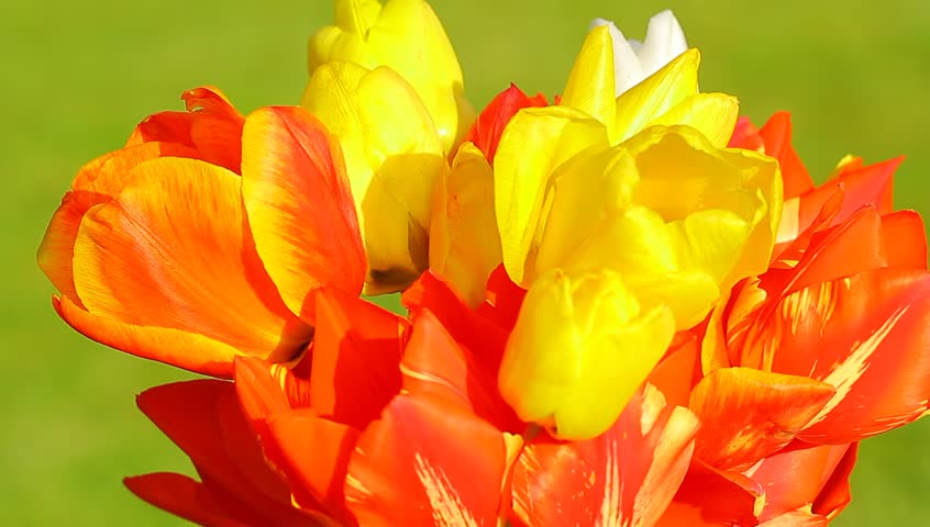 Colorful red, yellow and white tulip, close up view - 9  - HD stock footage clip