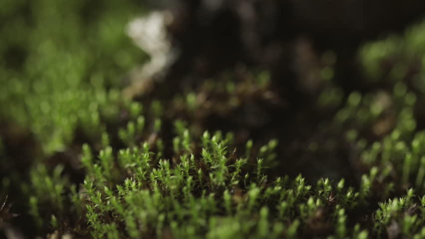 Green moss growing at the foot of a plant UHD stock footage. Vivid green moss in true macro close up growing at the foot of a plant with a sliding camera move