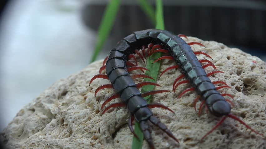 Black Scolopendra, Centipede insect macro red legs and hard shell
