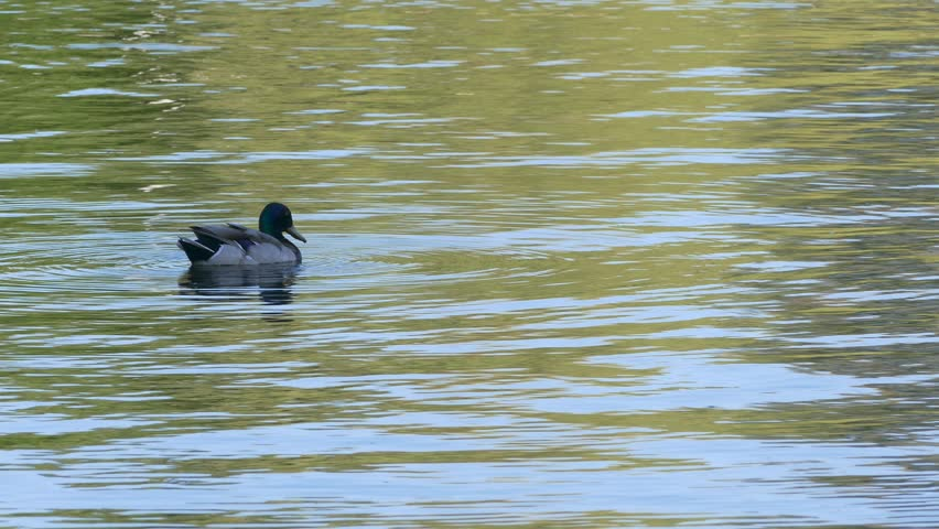 Duck Swimming In The River (FULL HD) Stock Footage Video ...