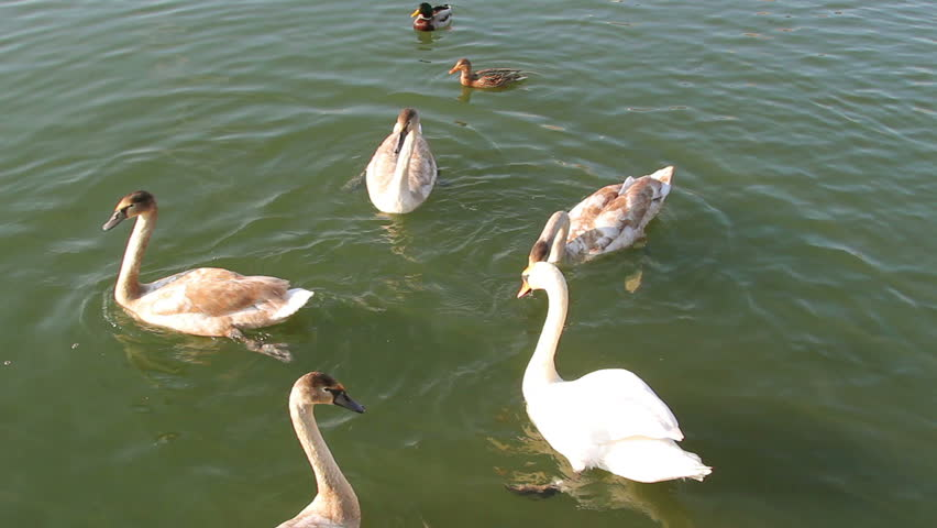 Swans swim in the pond - HD stock footage clip