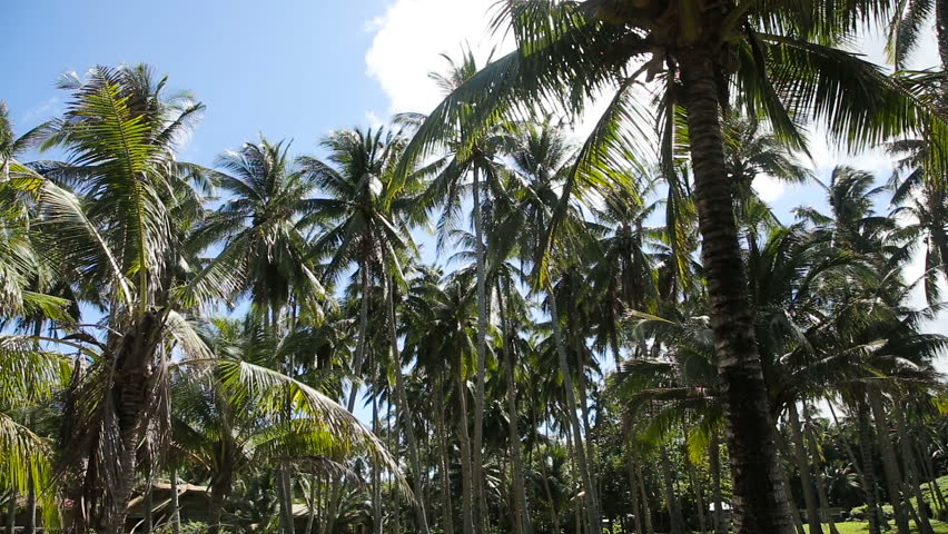 grove of coconut trees on a sunny day in camiguin island,Philippines.Coconut plantation under the blue sky and clouds.Travel concept - HD stock footage clip