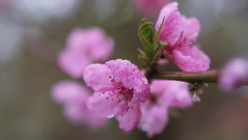 Water falling on flower. Water drops hitting pink cherry blossom. Superb close up panoramic view against blooming pink cherry branch trembling on the wind. Soft toned nature scene of Japanese Sakura. #16015981